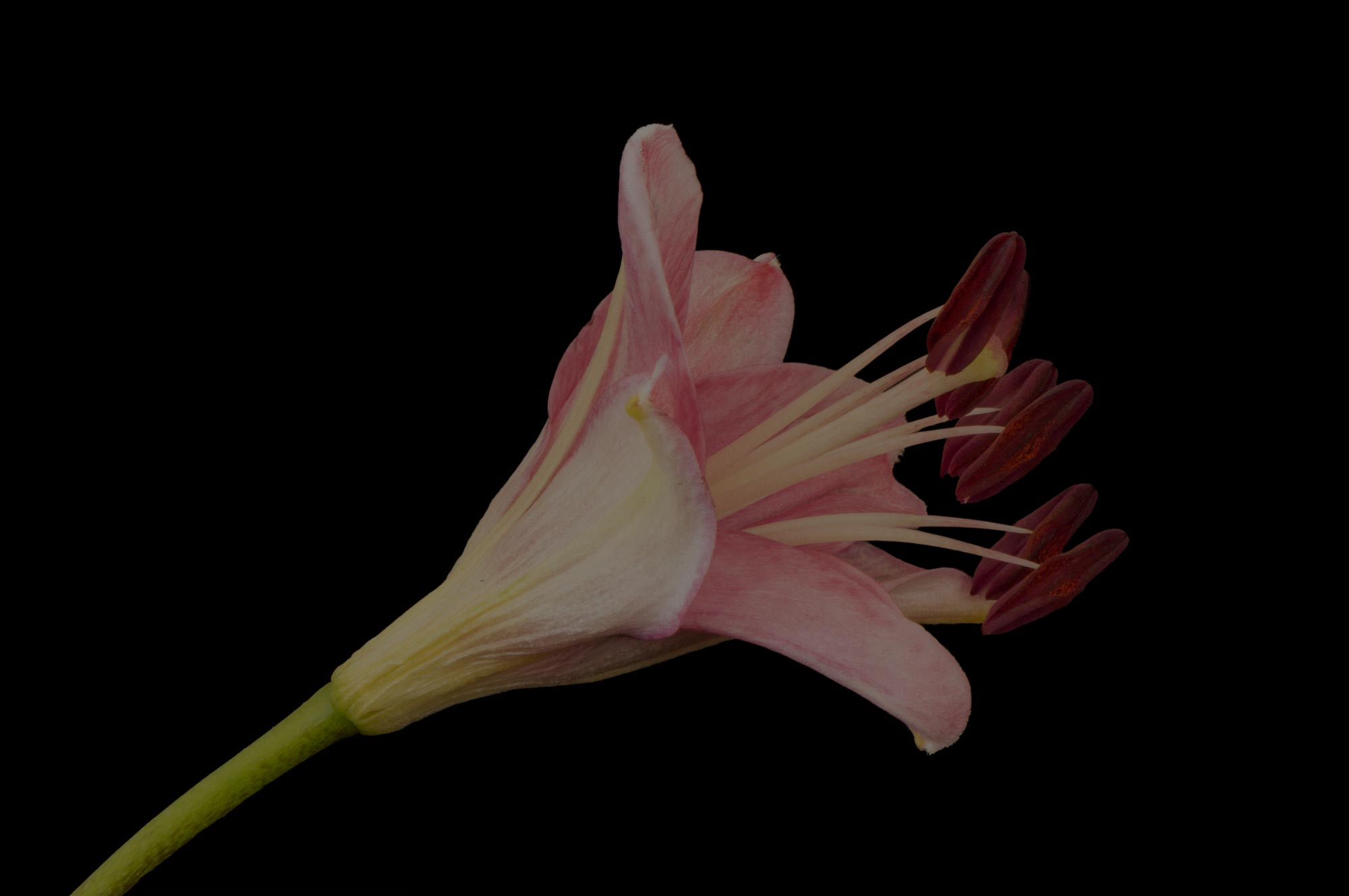 photograph of a single pink Lily on a black background