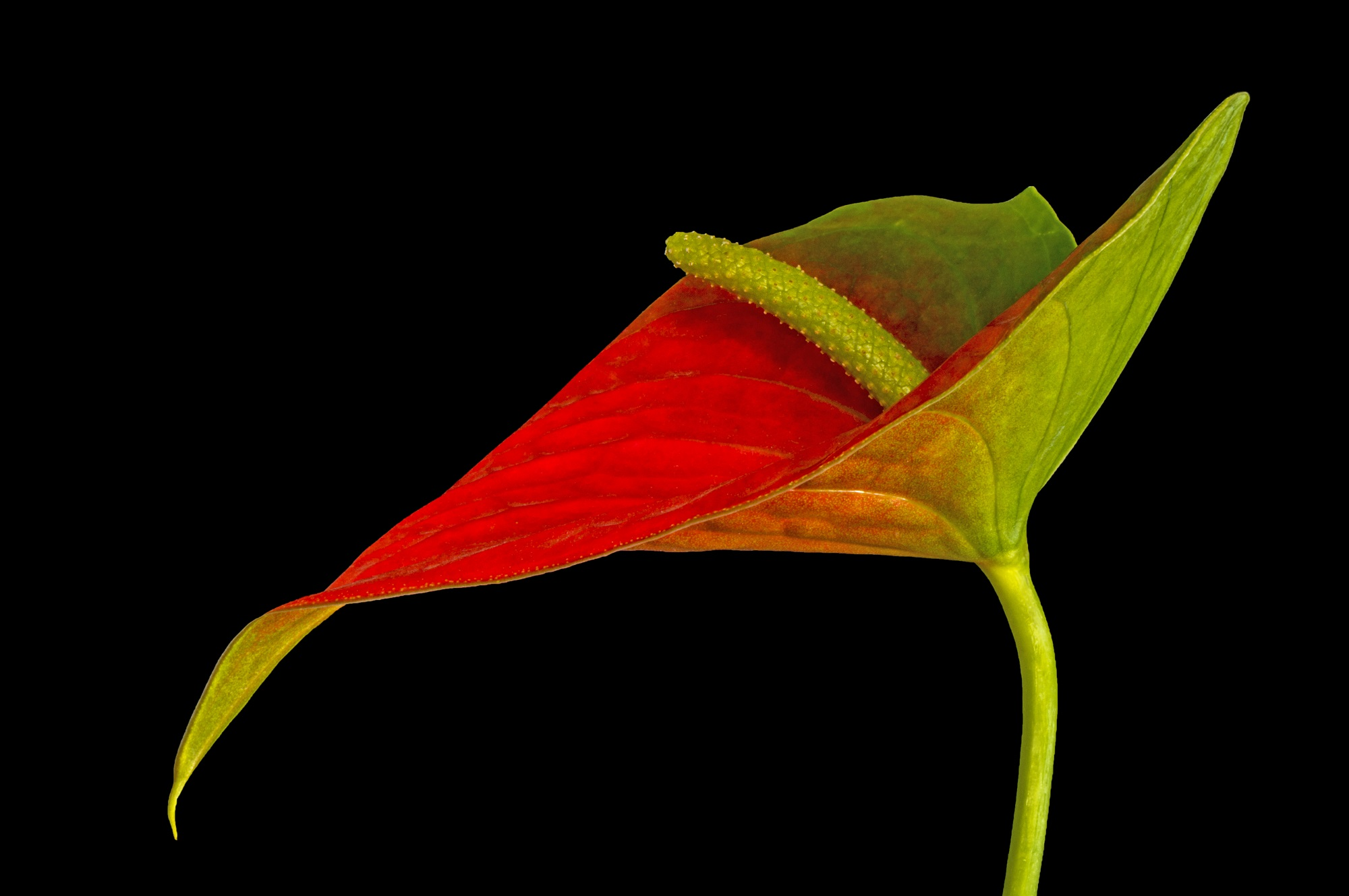 Macro photograph of a red and green Anthurium