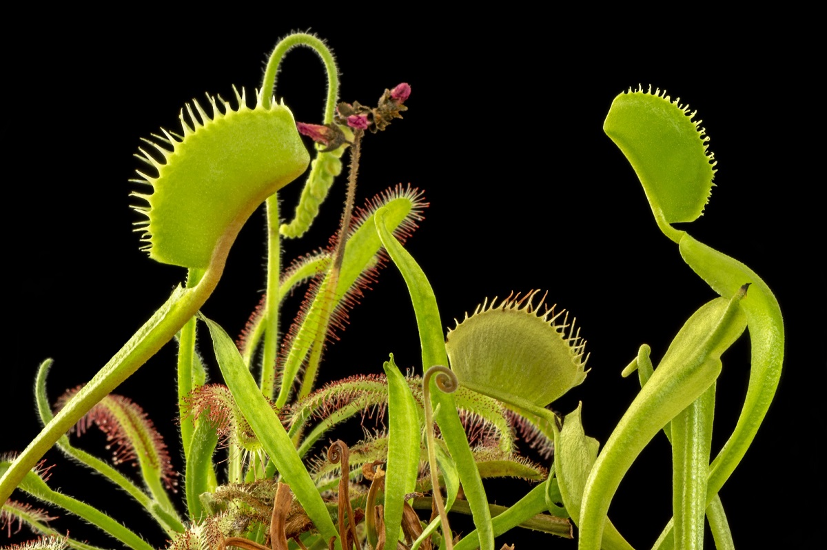 Macro photography of a number of Venus Flytraps